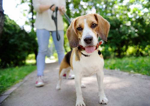 Beagle walking in the park