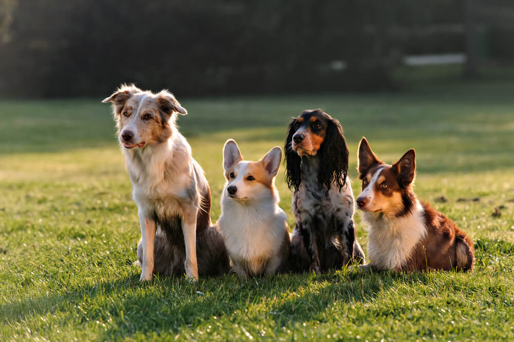 4 mixed breeds of dog sitting in a field