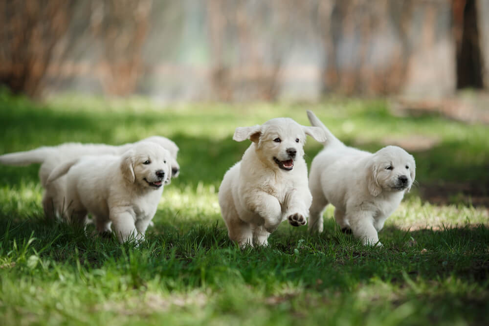 puppies running through field