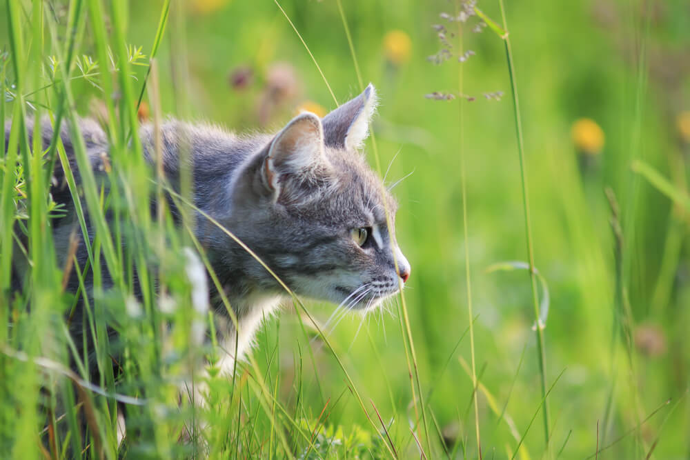 cat stalking in long grass