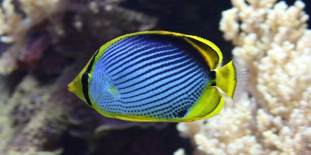 ornamental blue and yellow fish